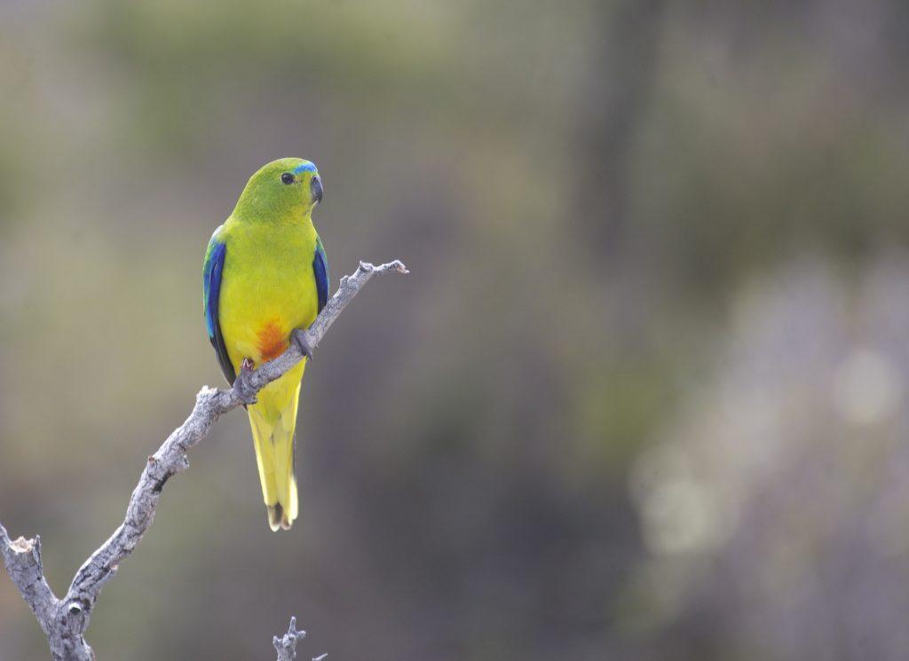 Orange-bellied Parrot. Image Credit: Dejan Stojanovic
